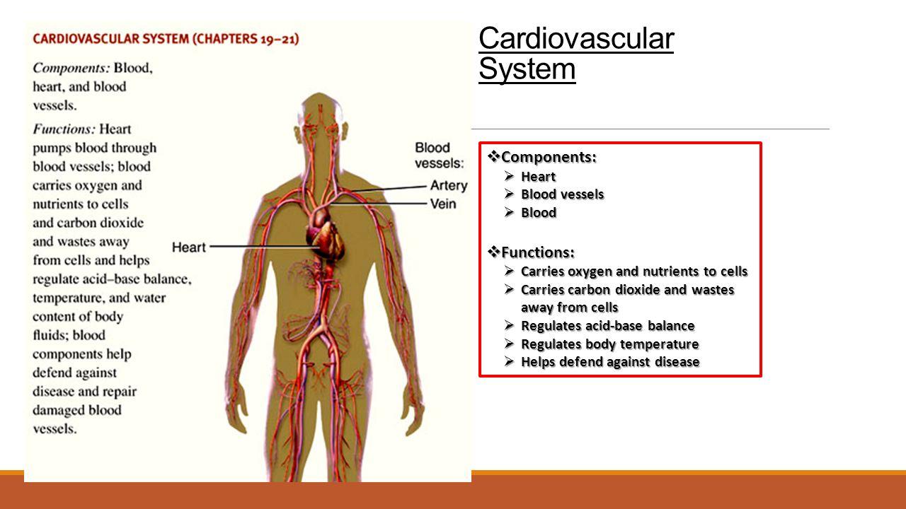 anatomy physiology quiz 2 cardiovascular system Study Sets 5425116 ...