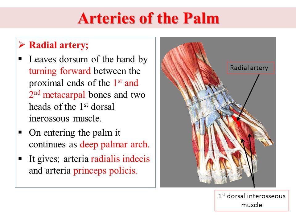 Old Fashioned Dorsum Of Hand Anatomy Photo - Anatomy Ideas - yunoki.info