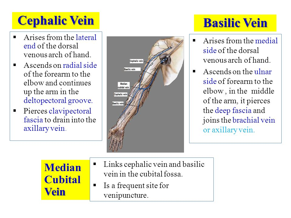 vascular anatomy of the upper limb - ppt download, Cephalic Vein