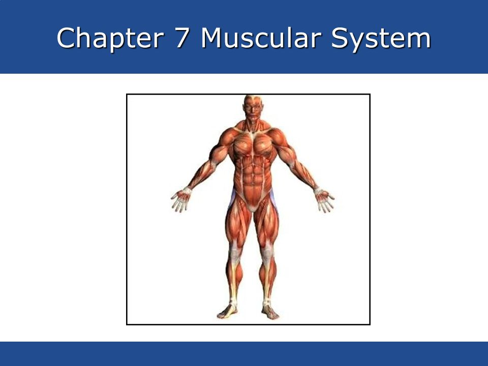 Chapter 7 Muscular System - ppt video online download