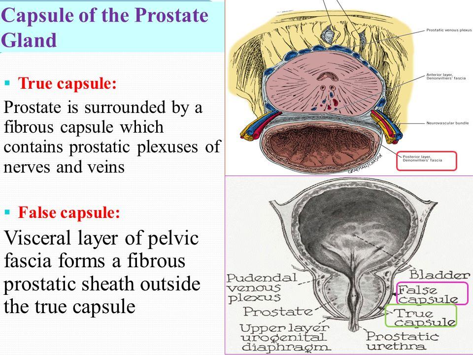 Modern Anatomy Of The Prostate Gland Frieze Anatomy Ideas Yunoki