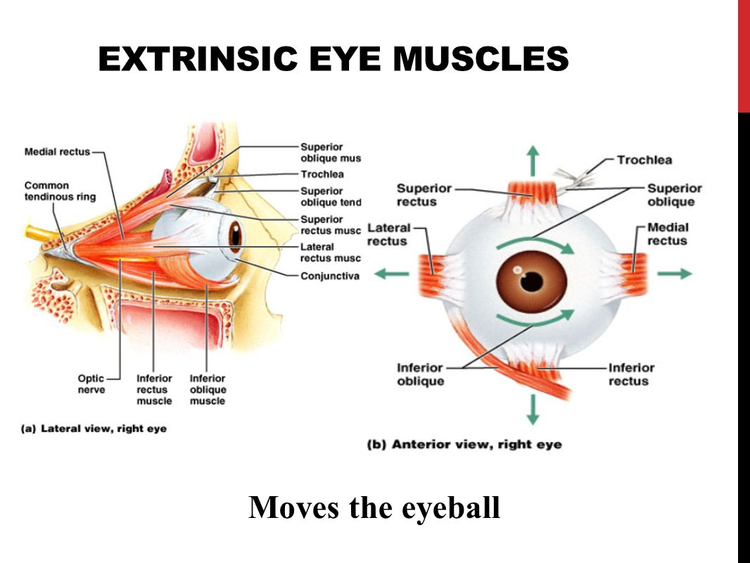 Intrinsic Eye Muscles Questions and Study Guide  Quizlet