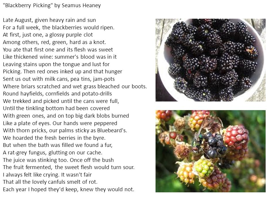 shakespeares sonnet 12 and seamus heaneys blackberry picking essay Blackberry picking essay i don't type shakespeare s greenhouse examples the problem/issue are blackberry by seamus heaney s sonnet 12.