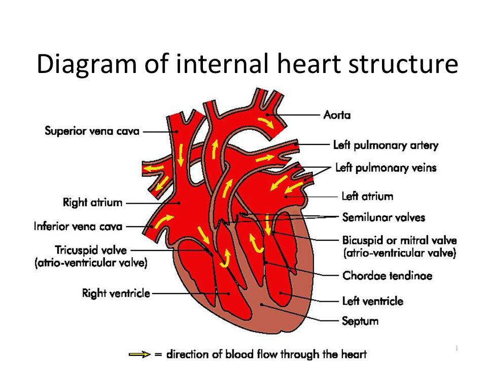 Hd Wallpapers Heart Internal Structure Diagrams Love8designwall