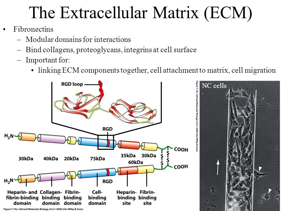 the extracellular matrix or ecm essay 605 braz j med biol res 34(5) 2001 extracellular matrix in multiple sclerosis lesions and there is only a limited oligoden-drocyte precursor population capable of.