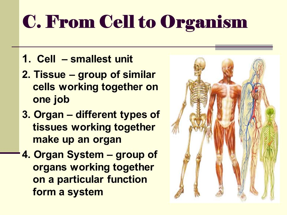 cell and different tissue types The smallest units of all living organisms, cells, are a fascinating combination of individually-functioning parts there are hundreds of different types of cells in the human body and their uses vary depending on the part of the body in which they reside.