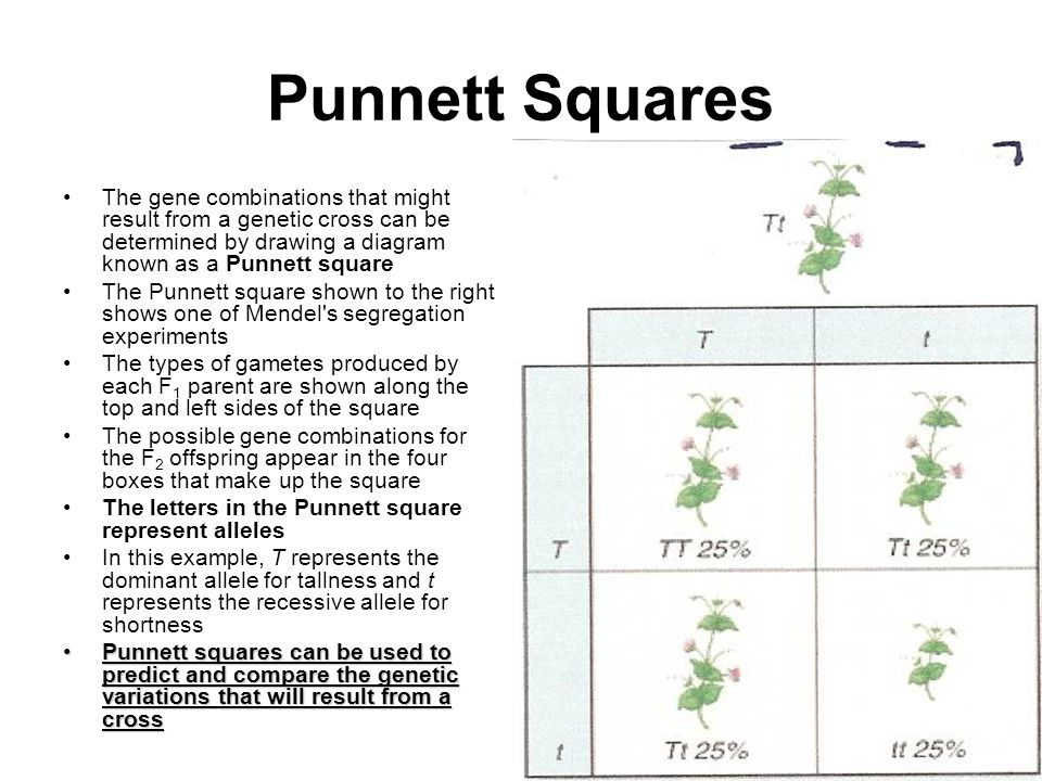 how to make a punnett square with two traits