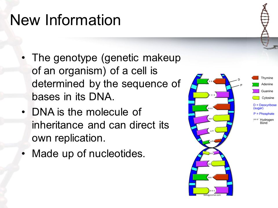 genotypes in organisms Patterns of inheritance  genes exist in pairs within an organism,  the genotypes of f 1 and f 2 offspring depend on whether the recessive trait was expressed .