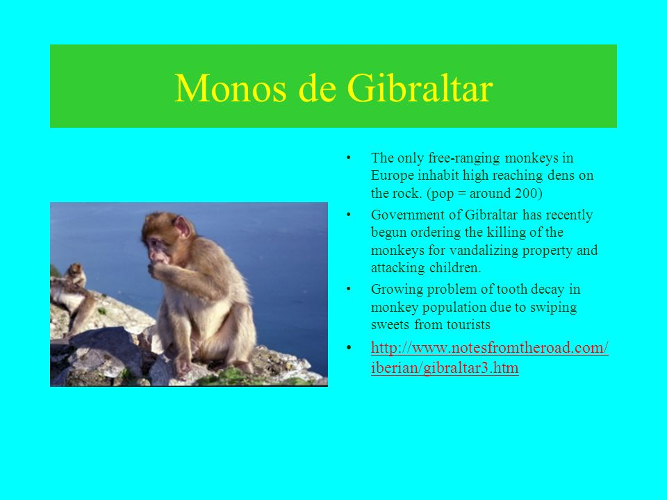 Monos de Gibraltar The only free-ranging monkeys in Europe inhabit high reaching dens on the rock. (pop = around 200)