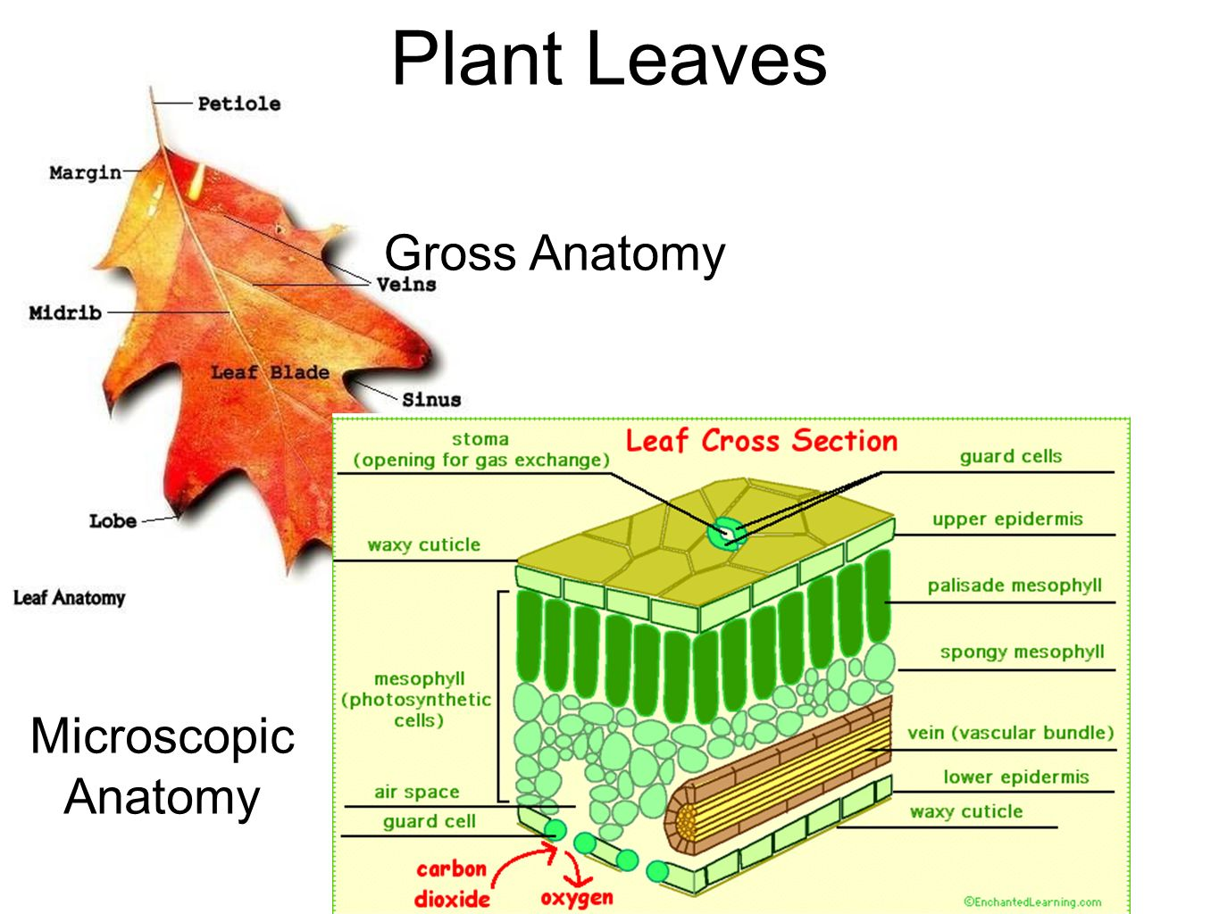 Perfect Anatomy Of The Leaf Crest Physiology Of Human Body Images
