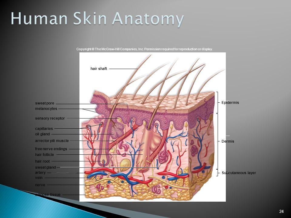 Erfreut Anatomy And Organization Of Human Skin Fotos - Menschliche ...