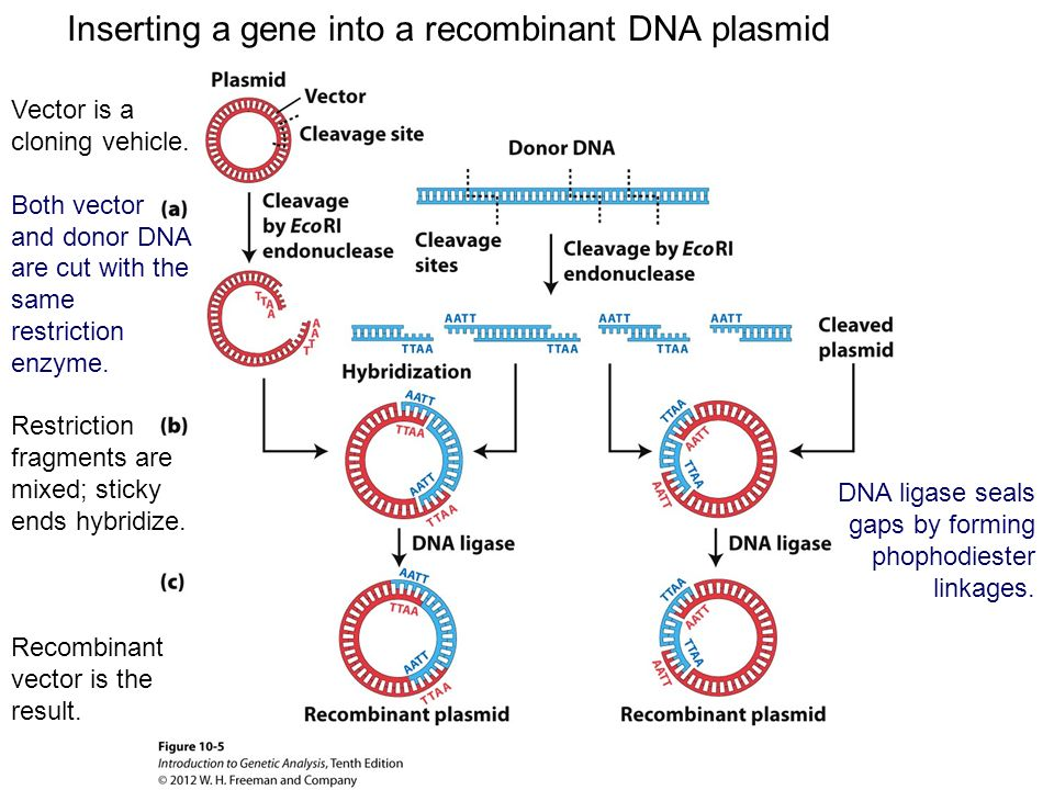 how to make recombinant dna