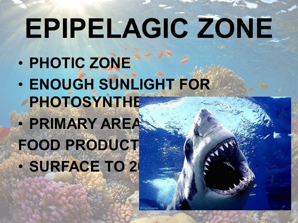 EPIPELAGIC ZONE PHOTIC ZONE ENOUGH SUNLIGHT FOR PHOTOSYNTHESIS