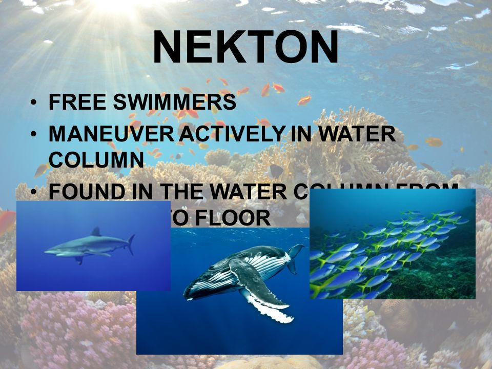 NEKTON FREE SWIMMERS MANEUVER ACTIVELY IN WATER COLUMN