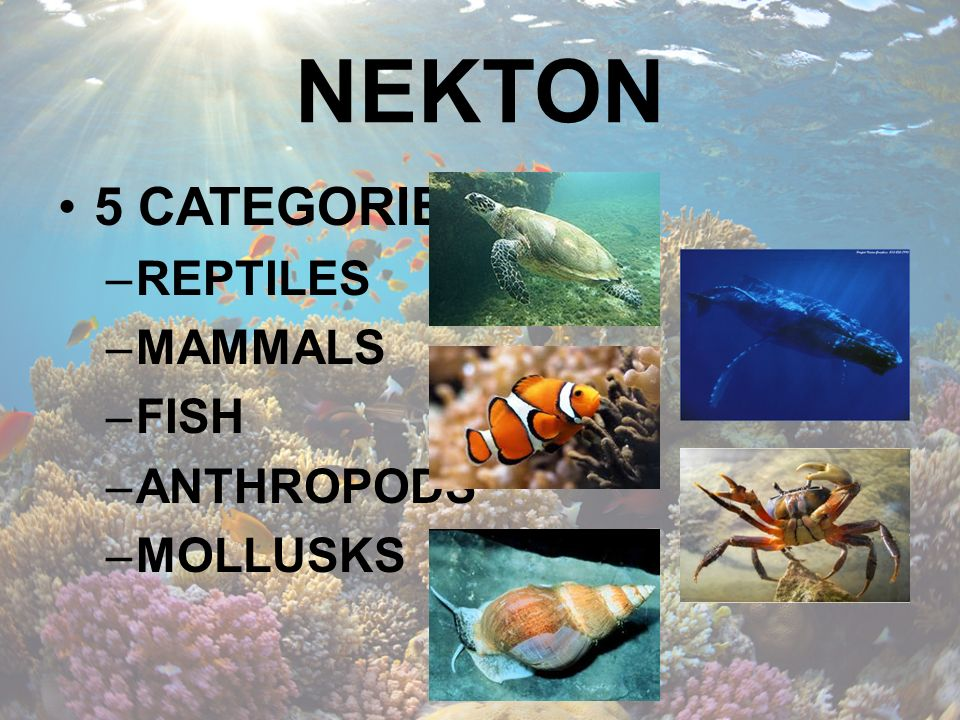NEKTON 5 CATEGORIES REPTILES MAMMALS FISH ANTHROPODS MOLLUSKS