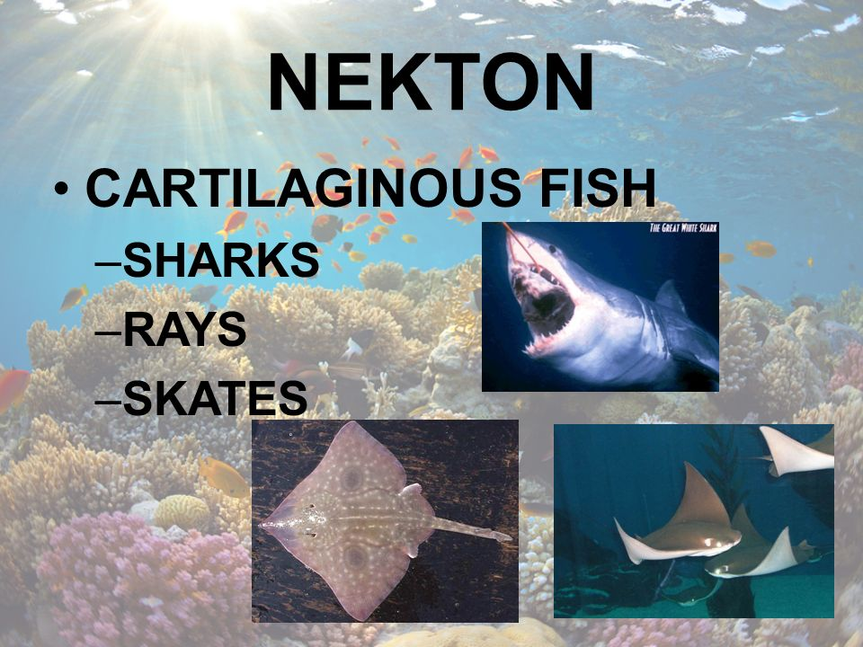 NEKTON CARTILAGINOUS FISH SHARKS RAYS SKATES