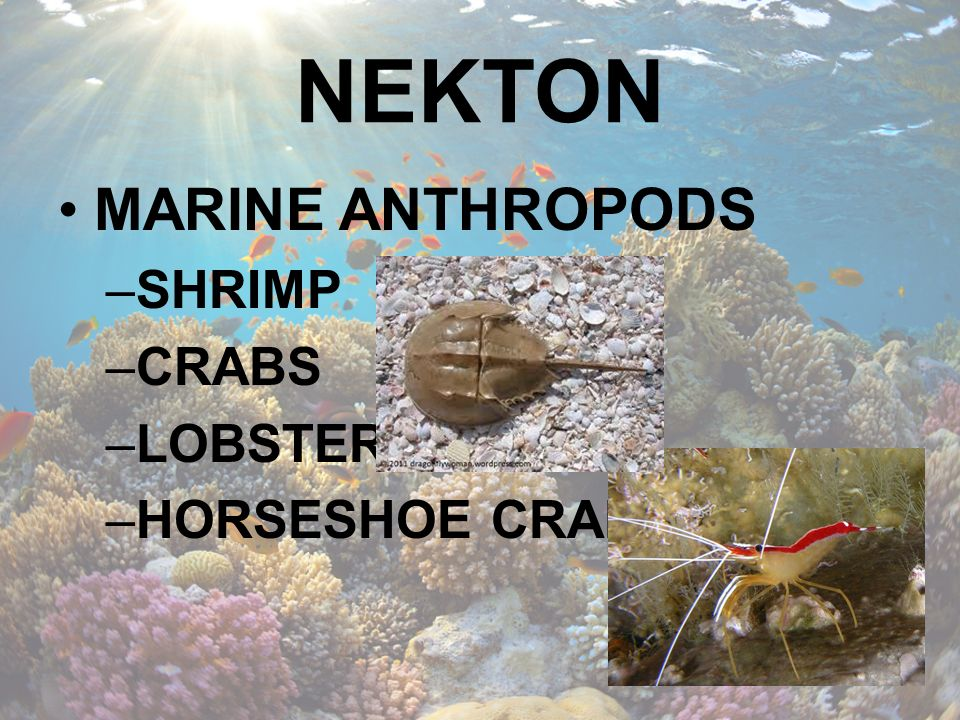 NEKTON MARINE ANTHROPODS SHRIMP CRABS LOBSTERS HORSESHOE CRABS