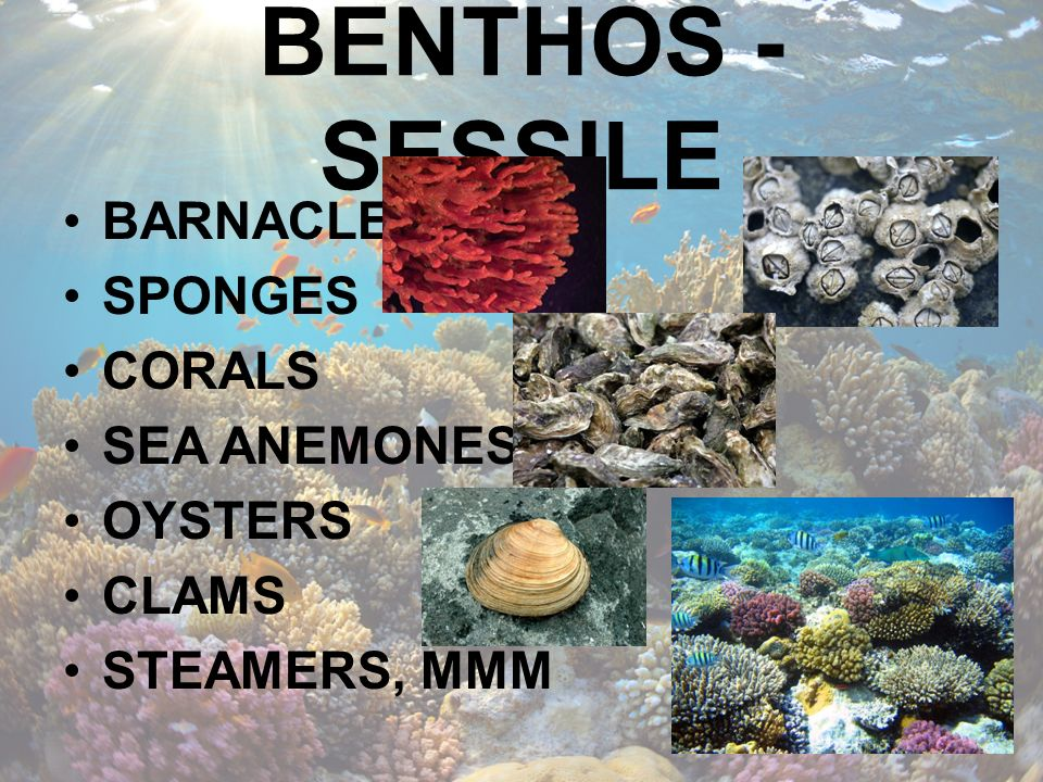BENTHOS - SESSILE BARNACLES SPONGES CORALS SEA ANEMONES OYSTERS CLAMS