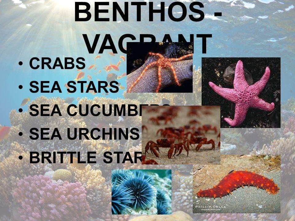 BENTHOS - VAGRANT CRABS SEA STARS SEA CUCUMBERS SEA URCHINS