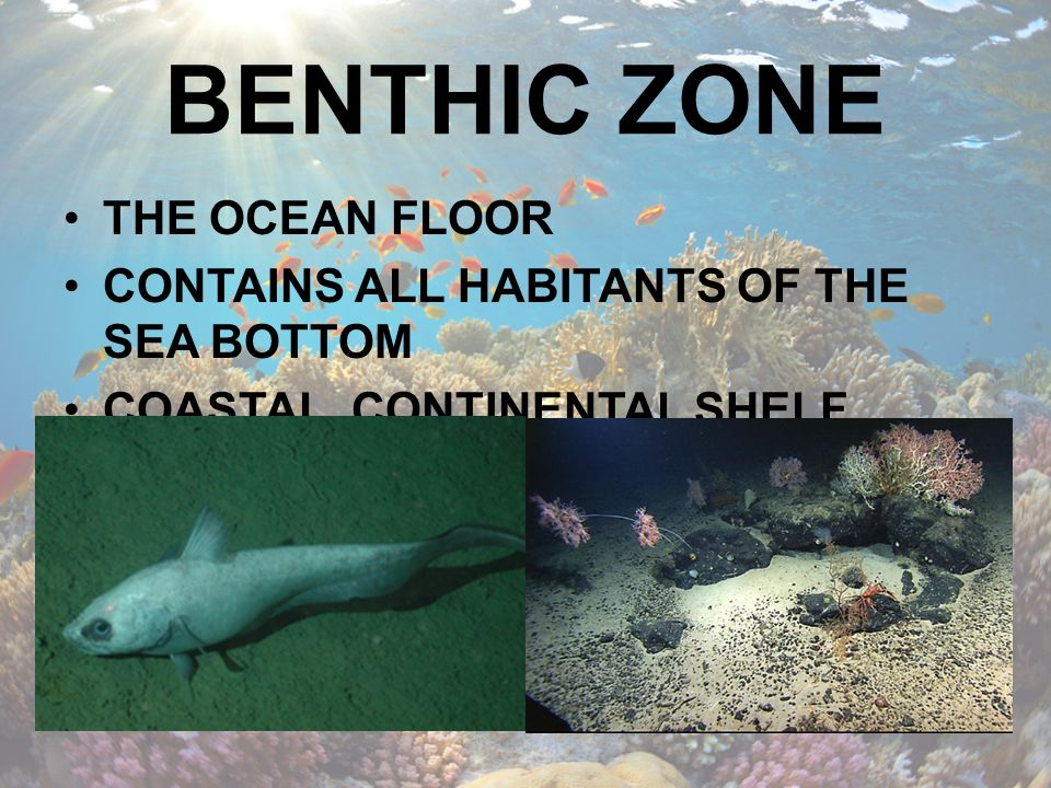 BENTHIC ZONE THE OCEAN FLOOR CONTAINS ALL HABITANTS OF THE SEA BOTTOM