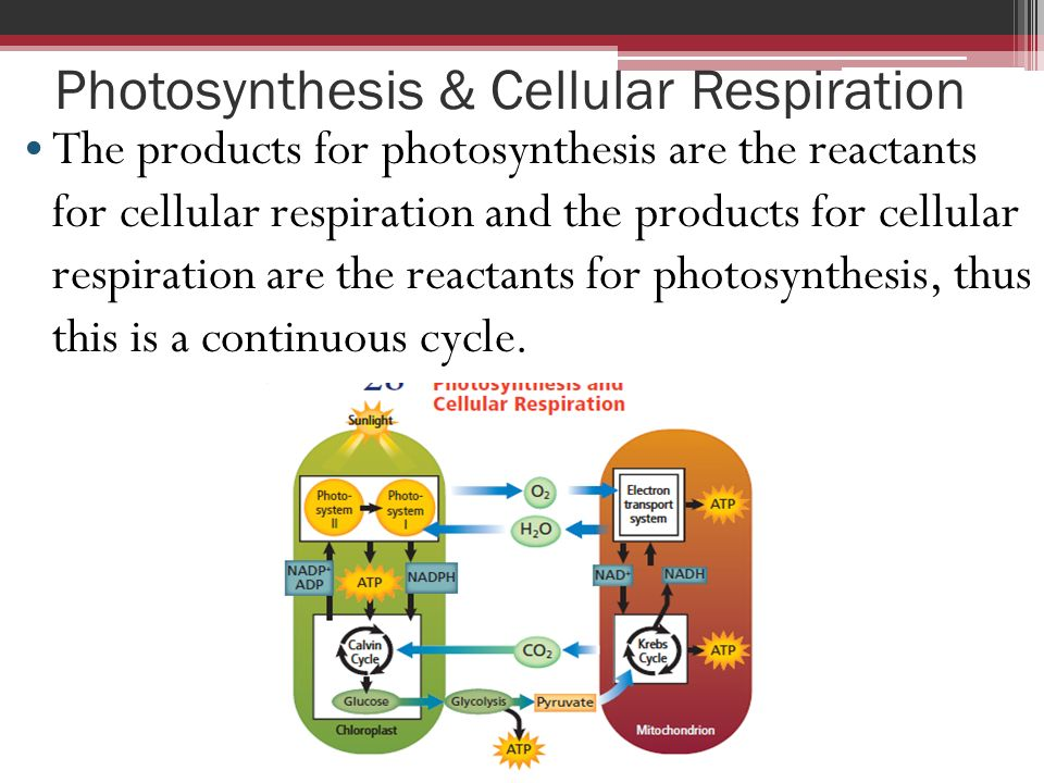 photosynthesis and cellular respiration Main difference the main difference between photosynthesis and cellular respiration is that during the process of photosynthesis energy is stored while energy released in cellular respiration.