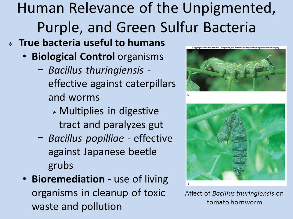distribution and habitat of bacillus thuringiensis biology essay Bacillus thuringiensis (bt) has been used successfully as a biopesticide for   bacterial viability in aquatic environments is influenced by biological,   symptoms of nematode poisoning include lethargy, reduced size, pale.