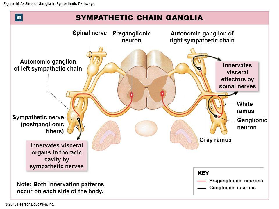 Sympathetic chain ganglion