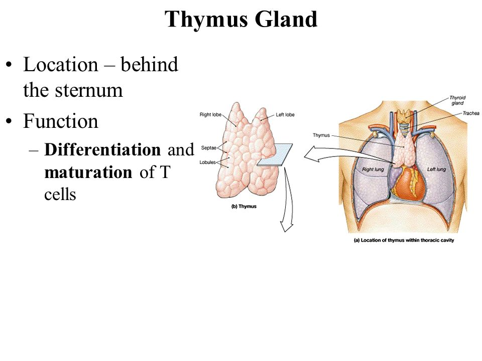 Thymus Location Thymus Atrophy Definition Of Thymus Atrophy By