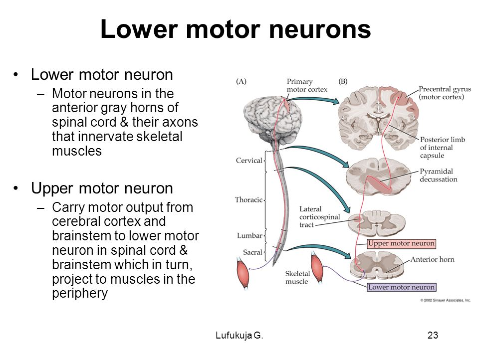 Motor pathways lufukuja g ppt video online download What is lower motor neuron disease