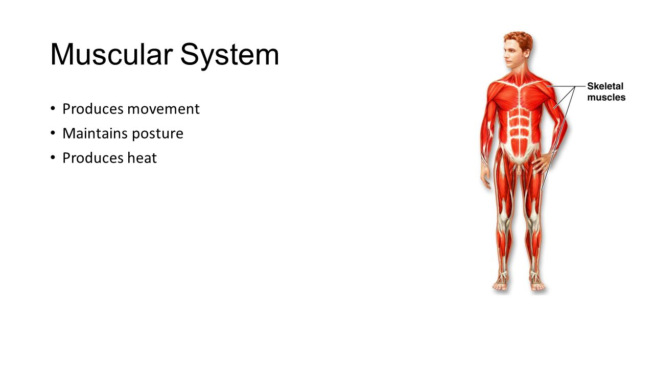 Awesome Muscular System Anatomy And Physiology Ppt Motif - Anatomy ...