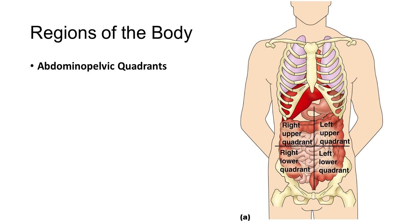Anatomy right upper quadrant