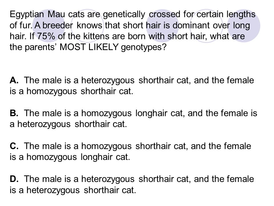 Egyptian Mau cats are genetically crossed for certain lengths of fur