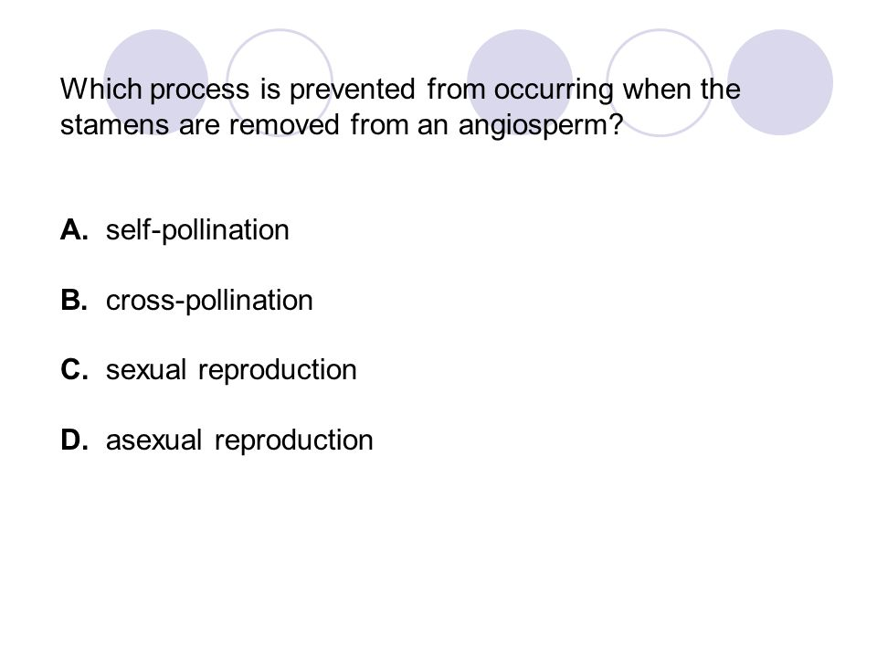 Which process is prevented from occurring when the stamens are removed from an angiosperm
