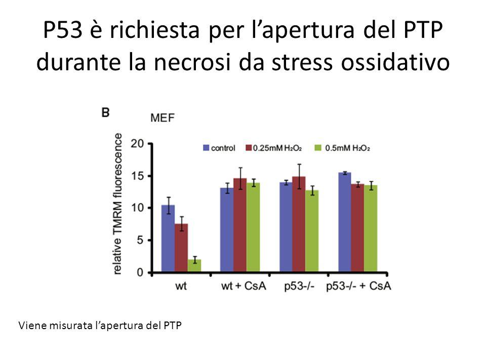 P53 è richiesta per l'apertura del PTP durante la necrosi da stress ossidativo