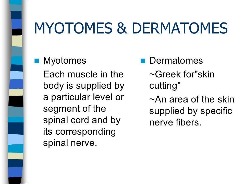 Myotomes Amp Dermatomes Myotomes Ppt Download