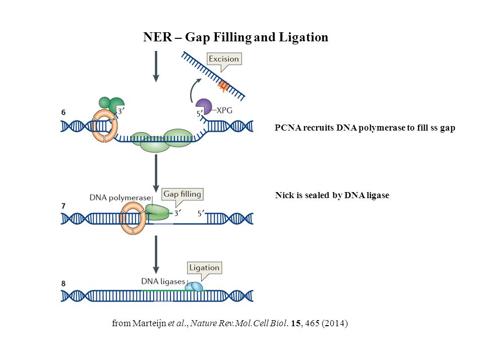 Oxidative damage of dna ppt download ner gap filling and ligation ccuart Choice Image