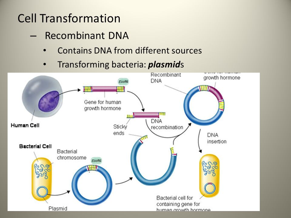 Chapter 13-2 & 13-3: Manipulating DNA & Cell ...