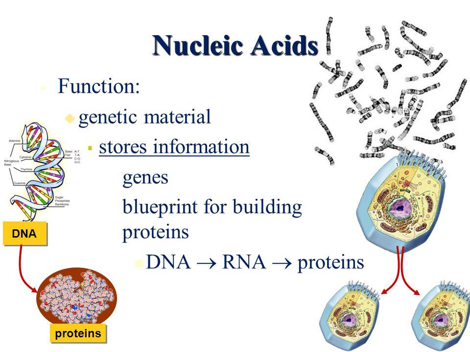 Building Block Of Genetic Material
