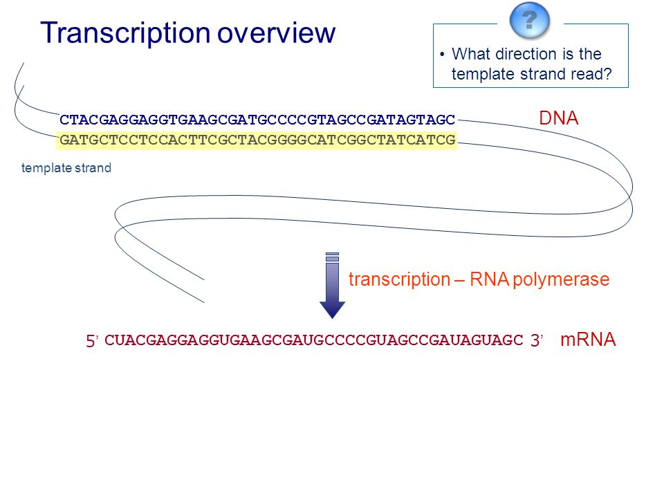 what is a template strand - transcription individual dna regions genes copied to