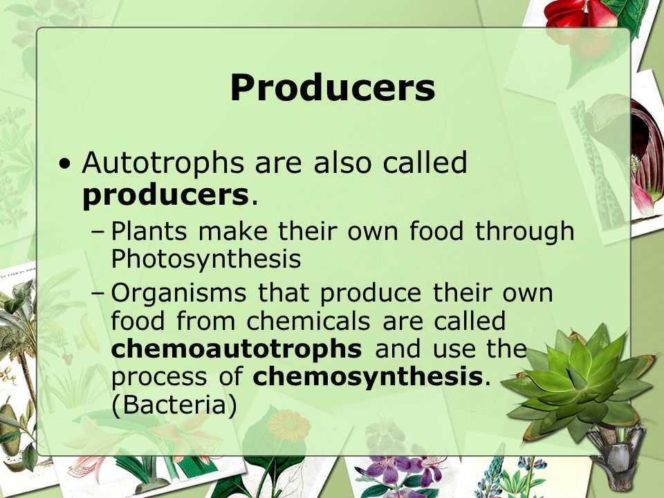 Producers Autotrophs are also called producers.