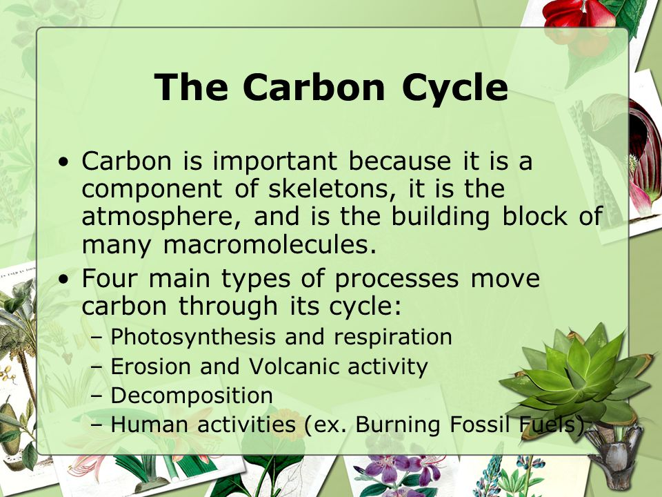 The Carbon Cycle Carbon is important because it is a component of skeletons, it is the atmosphere, and is the building block of many macromolecules.