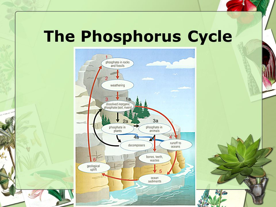 phosphorus cycle!