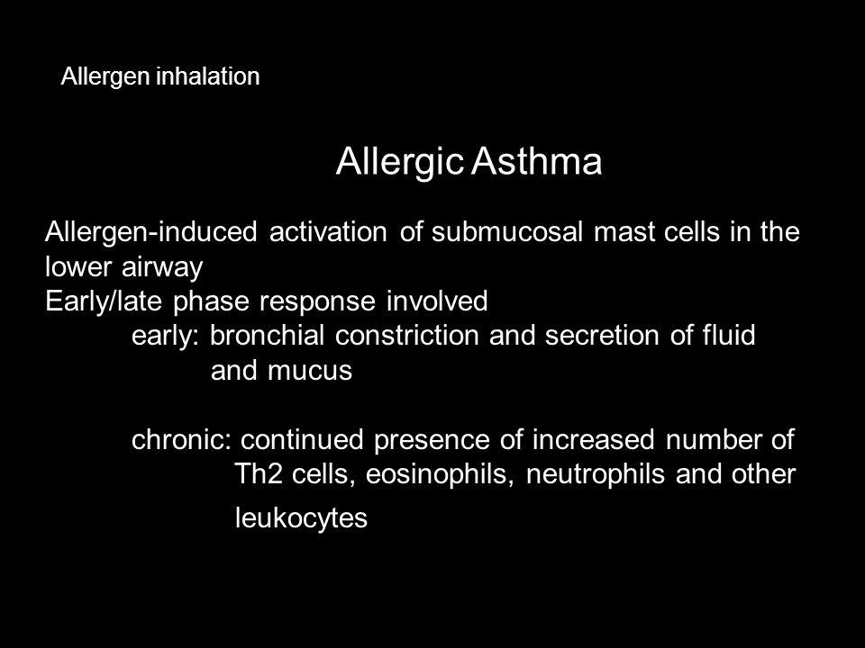 Allergen inhalation Allergic Asthma. Allergen-induced activation of submucosal mast cells in the lower airway.