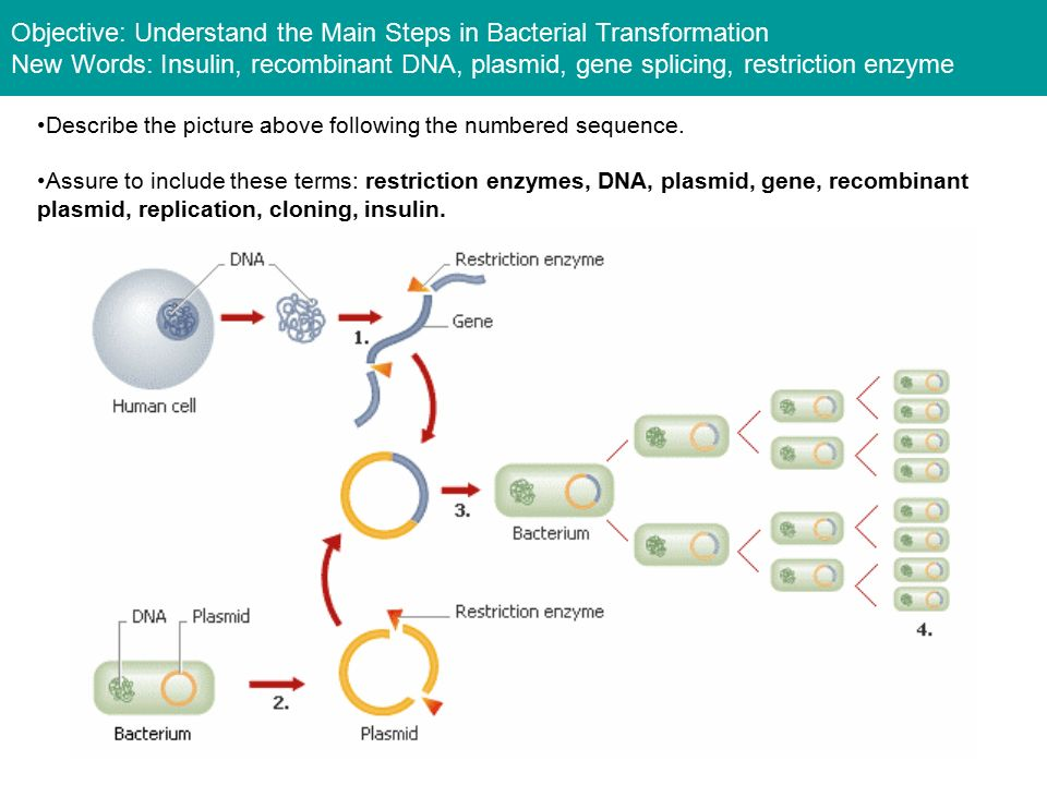 What is irenes problem ppt download objective understand the main steps in bacterial transformation new words insulin recombinant dna ccuart Gallery