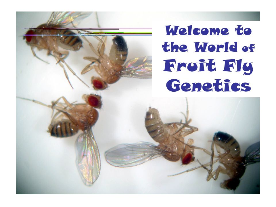 an overview of the genetics of the fruit flies Learning about genetics using flies model organisms are species that are studied to understand the biology of other organisms, often humans fruit flies share 75% of the genes that cause disease with humans, so scientists can learn about human genetics by studying fruit fly genetics.