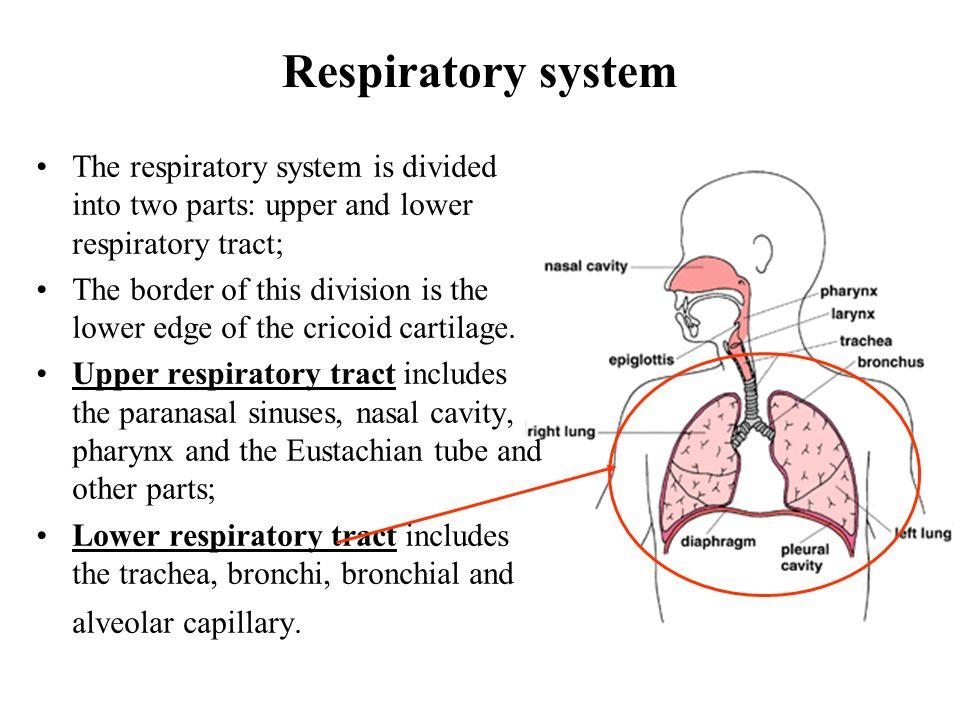 Anatomy of lower respiratory tract