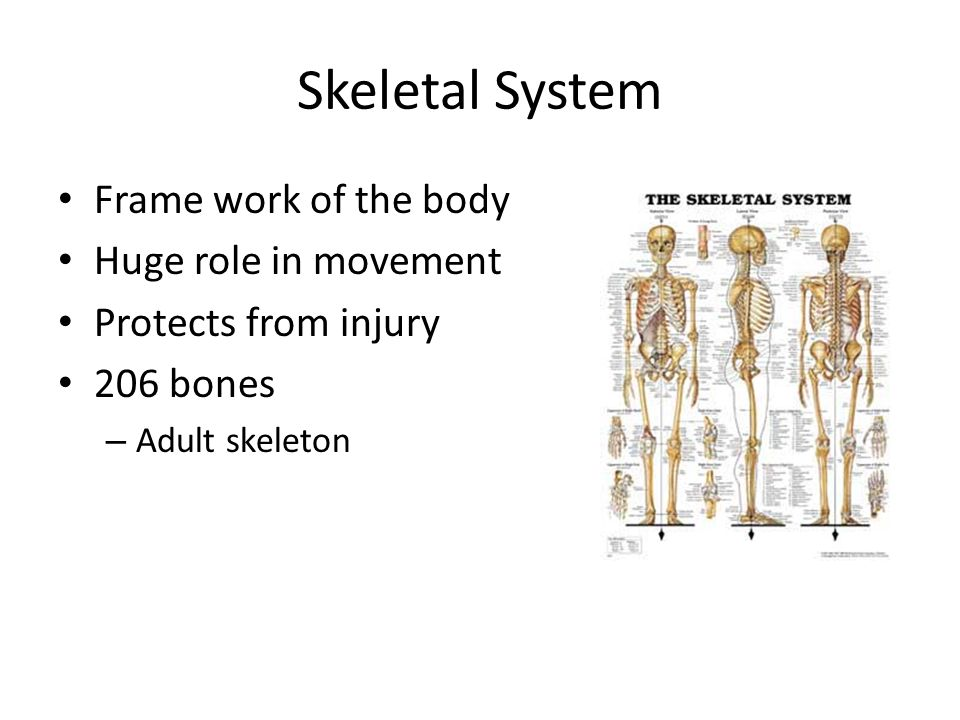 the role of our skeletal system Skeletal structure and function or axial skeleton another classification system for the bones in our skeleton is the difference between flat bones and.