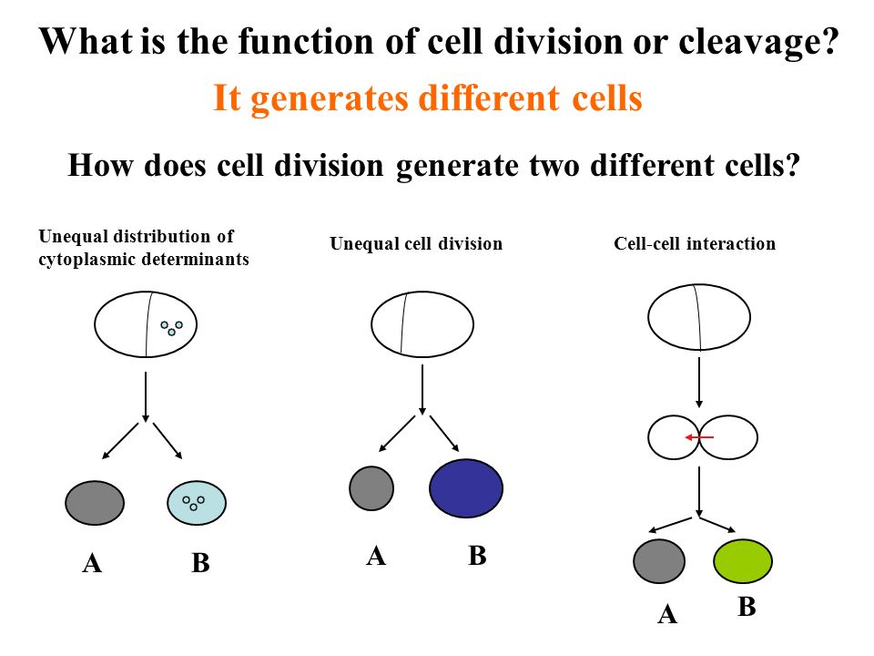 cell cell interaction in embryo development Cell fate specification in the c elegans  of blastomeres participating in a cell–cell interaction  about cell specification in the c elegans embryo,.