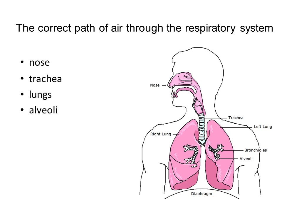 Respiratory and circulatory system LT - ppt download