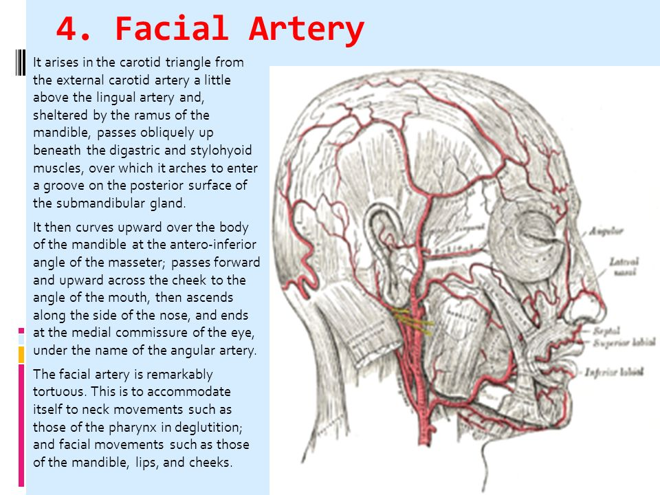 CHPTER 4 THE FACE Vascular System of Head & Neck - ppt ...
